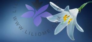 لیلیوم : عطر لیلیوم و گل لیلیوم