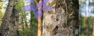 عود-oud- چیست؟ عود طبیعی و سنتتیک چه تفاوتی با هم دارند؟
